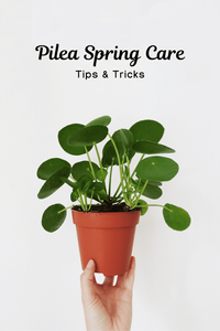 Pilea Peperomioides Spring Care
