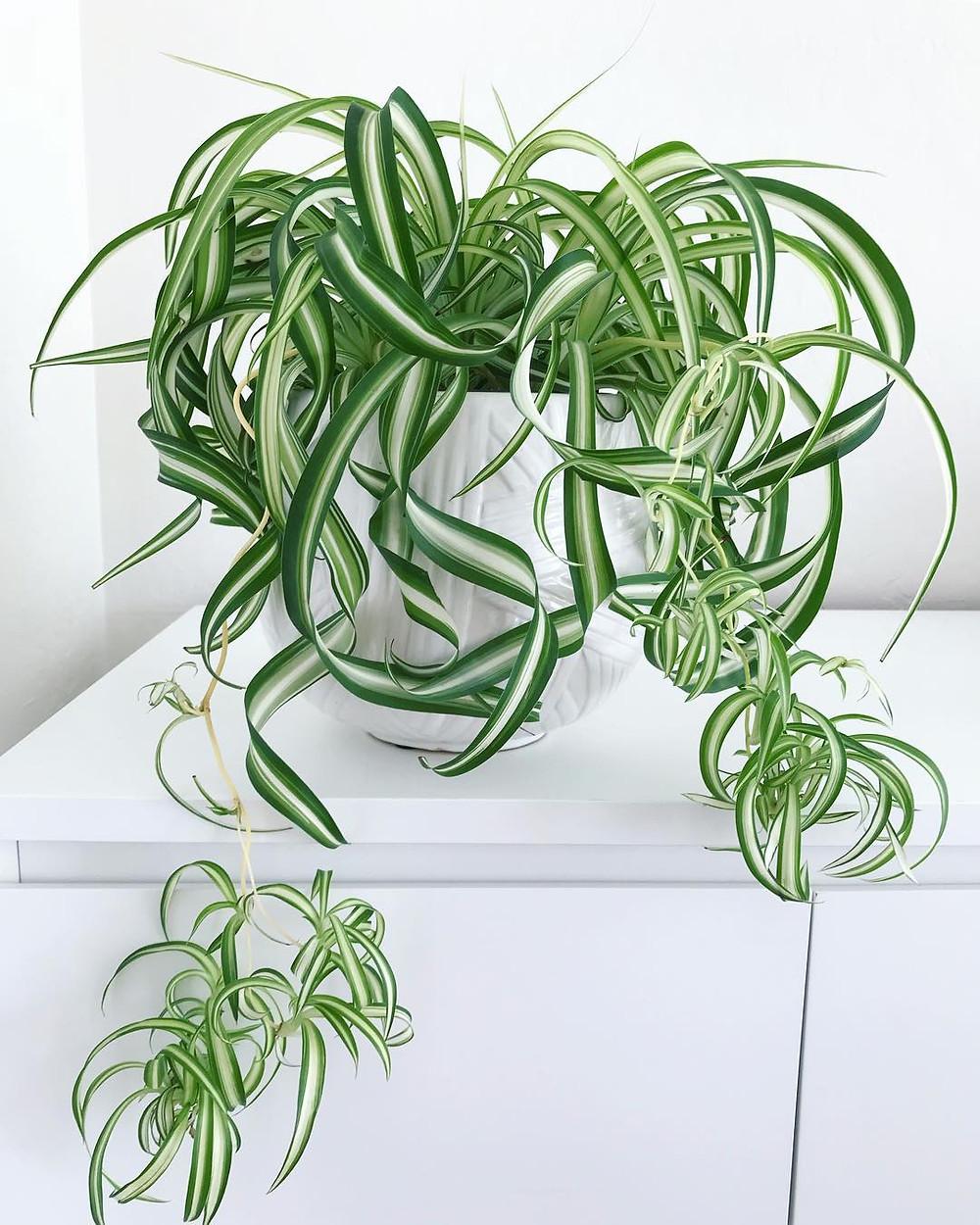 Chlorophytum Comosum Spider Plant Pet Safe Houseplants Non Toxic