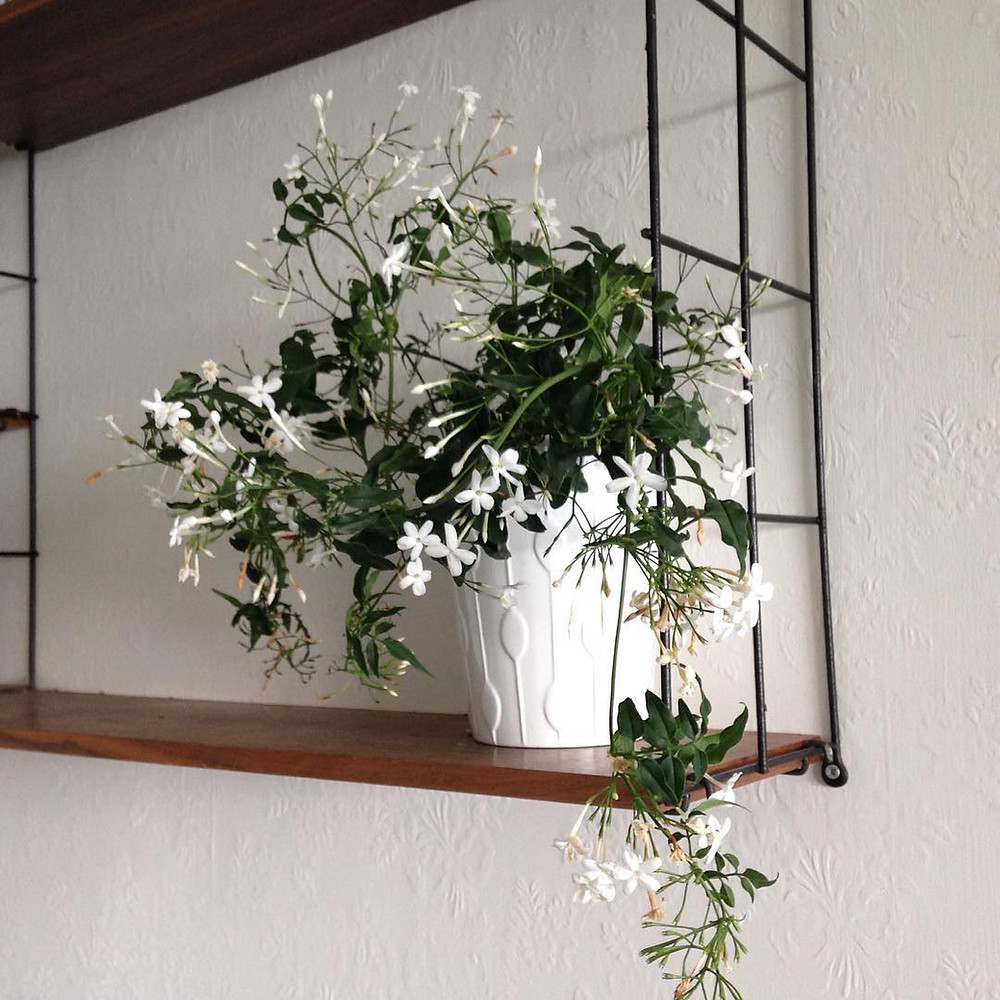 Jasmine Plants for Sleep Bedroom