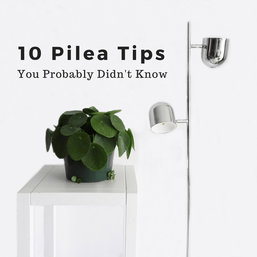 10 Pilea Tips You Probably Didn't Know