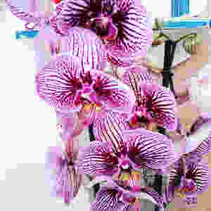 Phalaenopsis Orchid Low-Maintenance Houseplants You Can Easily Grow