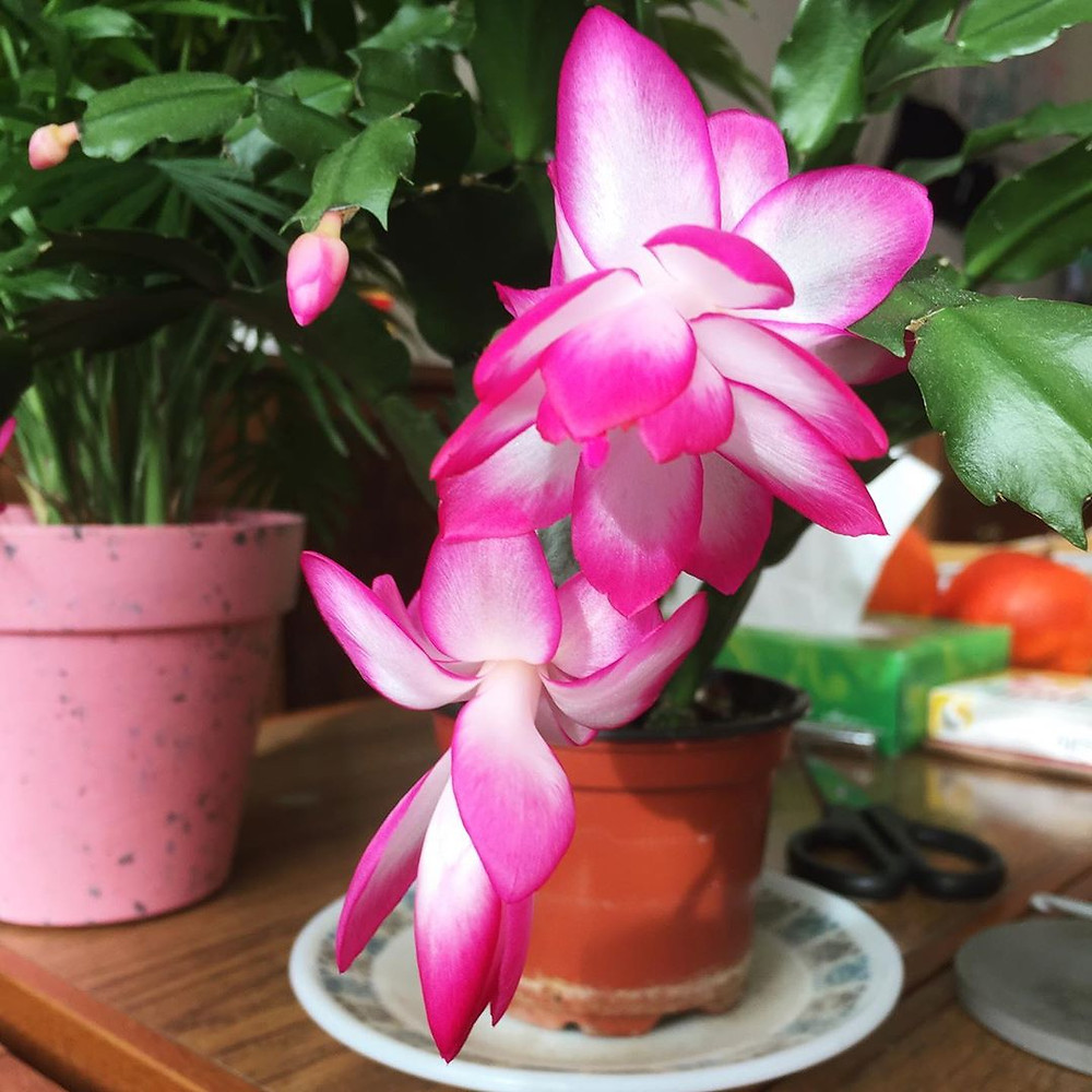 Christmas Cactus plants that do well in the bathroom