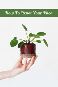 How To Properly Repot Your Pilea