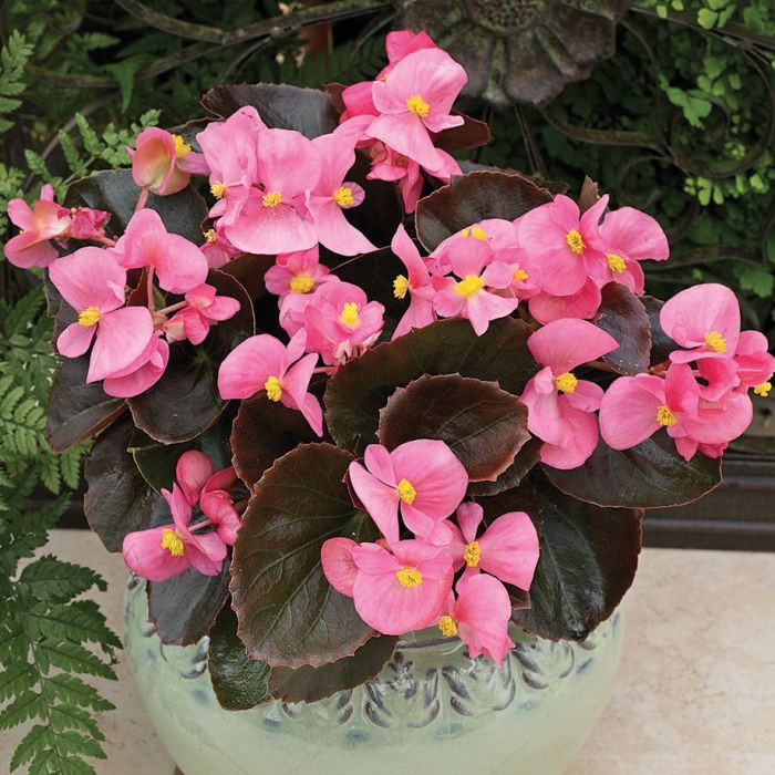 Begonia Low-Maintenance Houseplants You Can Easily Grow