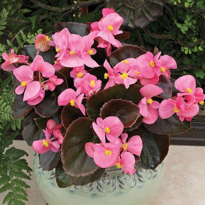 Begonia Low-Maintenance Houseplants You Can Easily Grow
