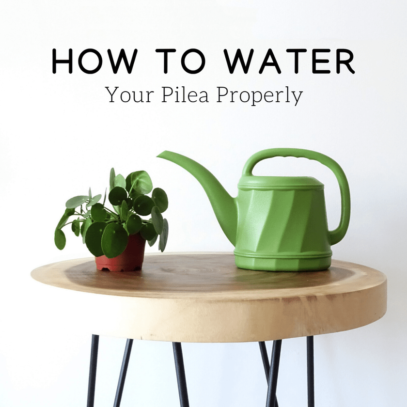 How To Water Your Pilea Properly
