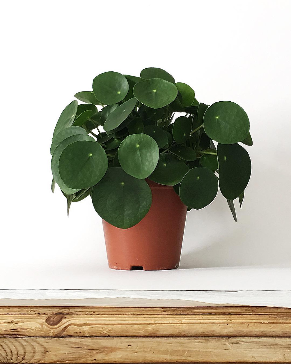 Pilea Peperomioides Houseplants You Can Propagate From Cuttings