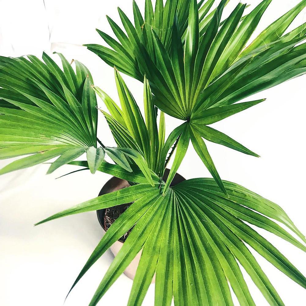 Livistona Chinensis Chinese Fan Palm Pet Safe Houseplants Non Toxic