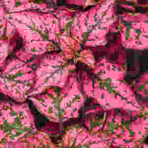 Polka Dot Plant Cute Tiny Plants For Small Spaces