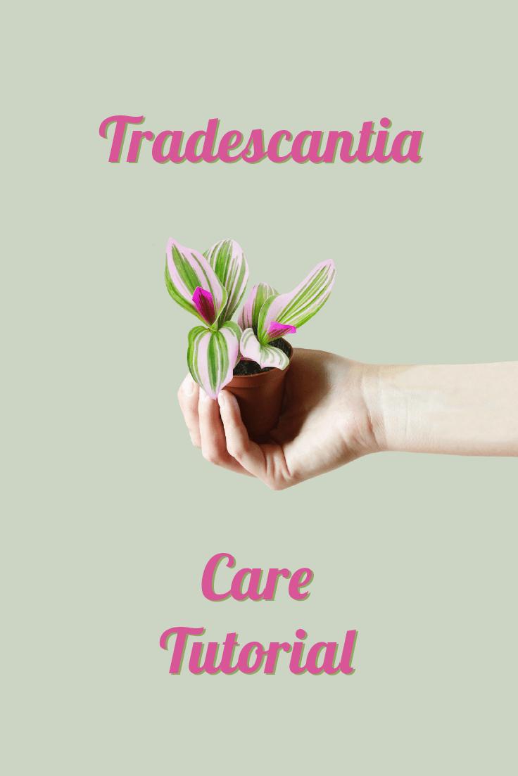 Mini Tradescantia Care Tutorial