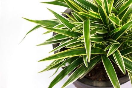 Dracaena Healthy Home Air Purifying Houseplants