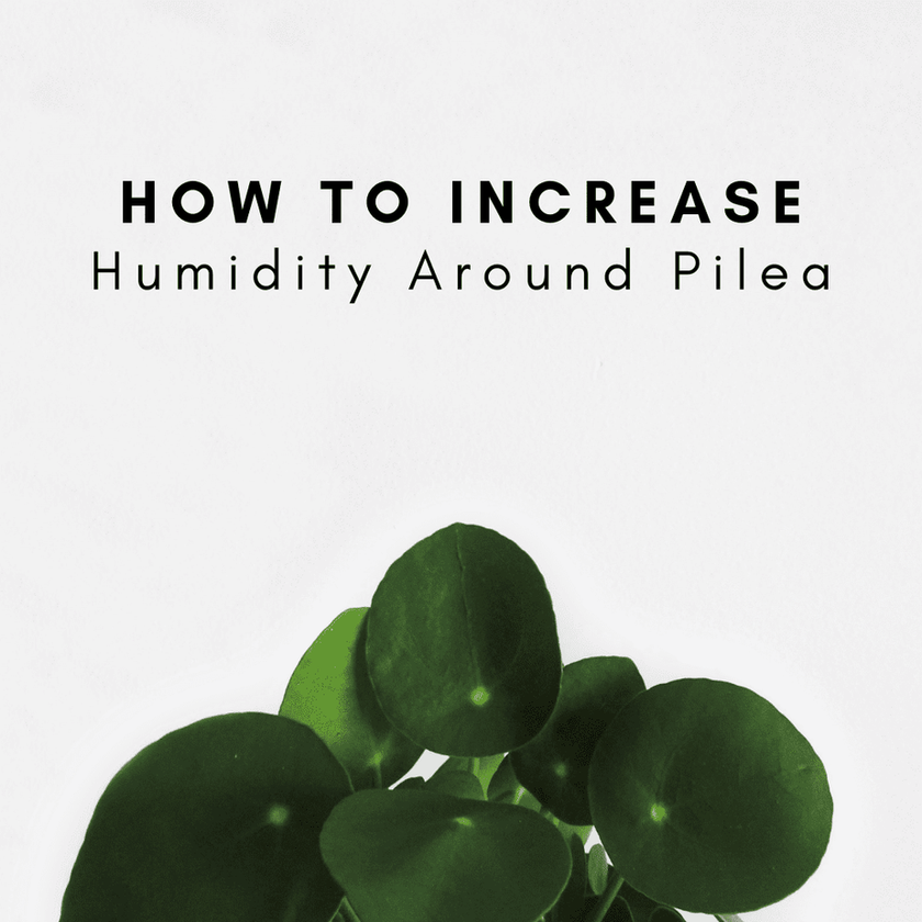 How To Increase Humidity Around Your Pilea