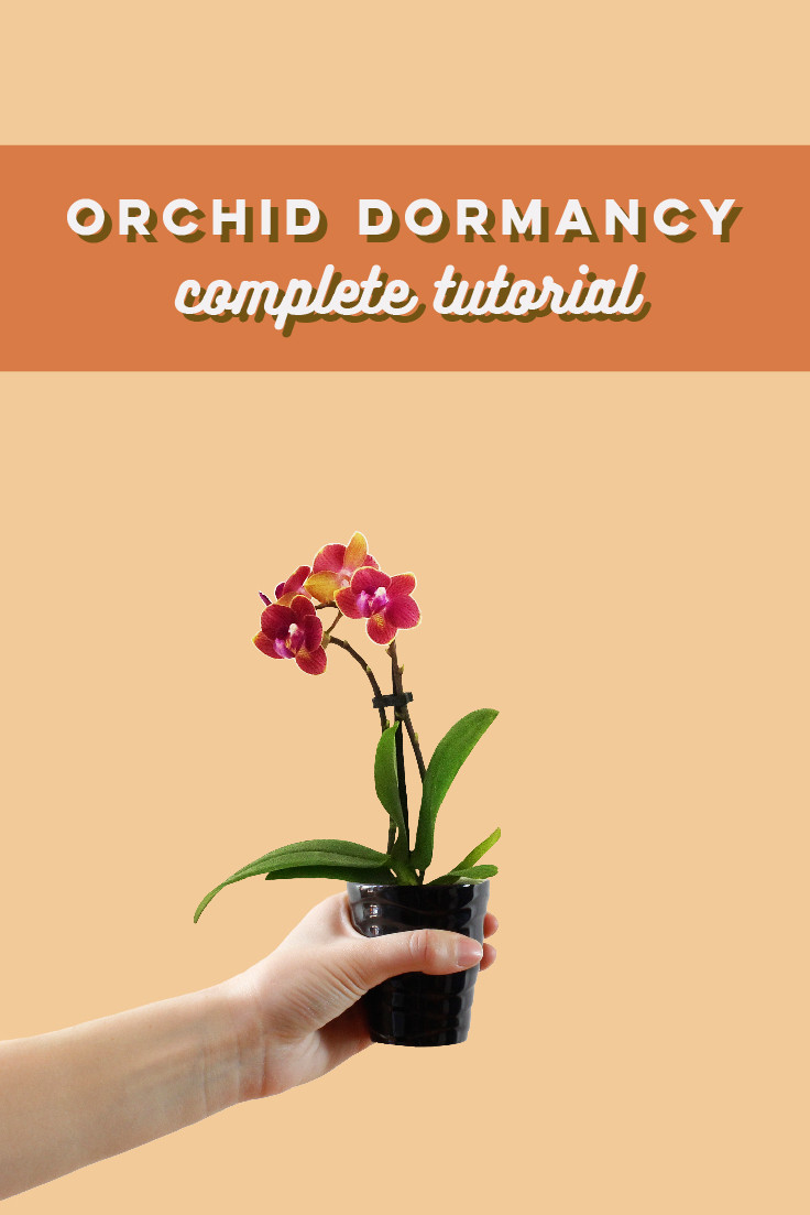 Orchid Dormancy: Your Orchid Is Not Dead, It's Just Resting!