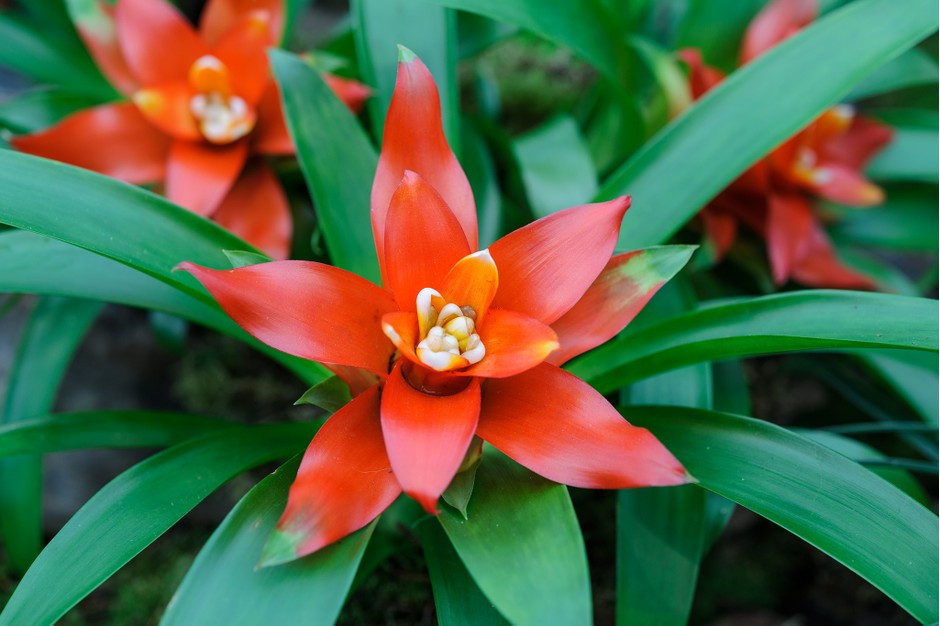 Guzmania Tempo Lingulata Exotic Houseplants