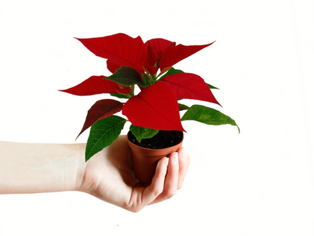 What You Need To Know To Keep Poinsettia Alive