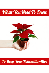 What You Need To Know To Keep Your Mini Poinsettia Alive