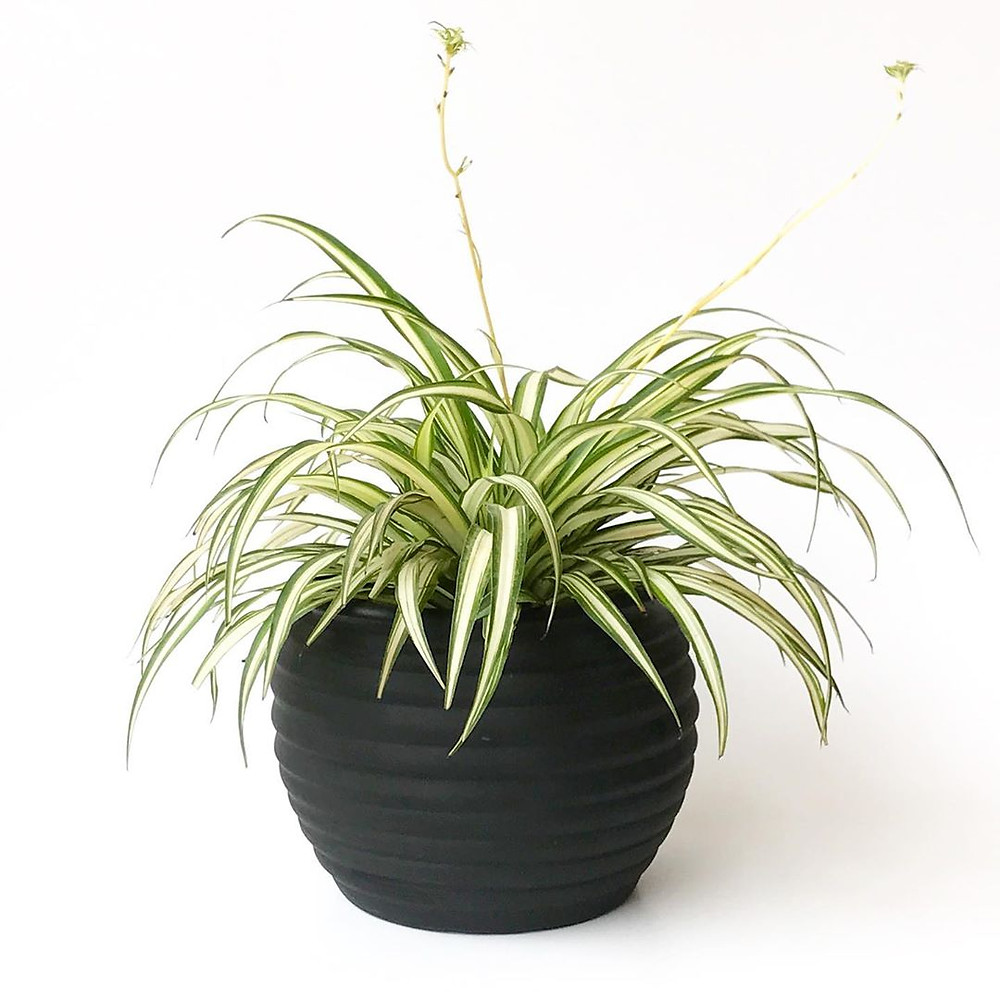 Spider Plant Healthy Home Air Purifying Houseplants