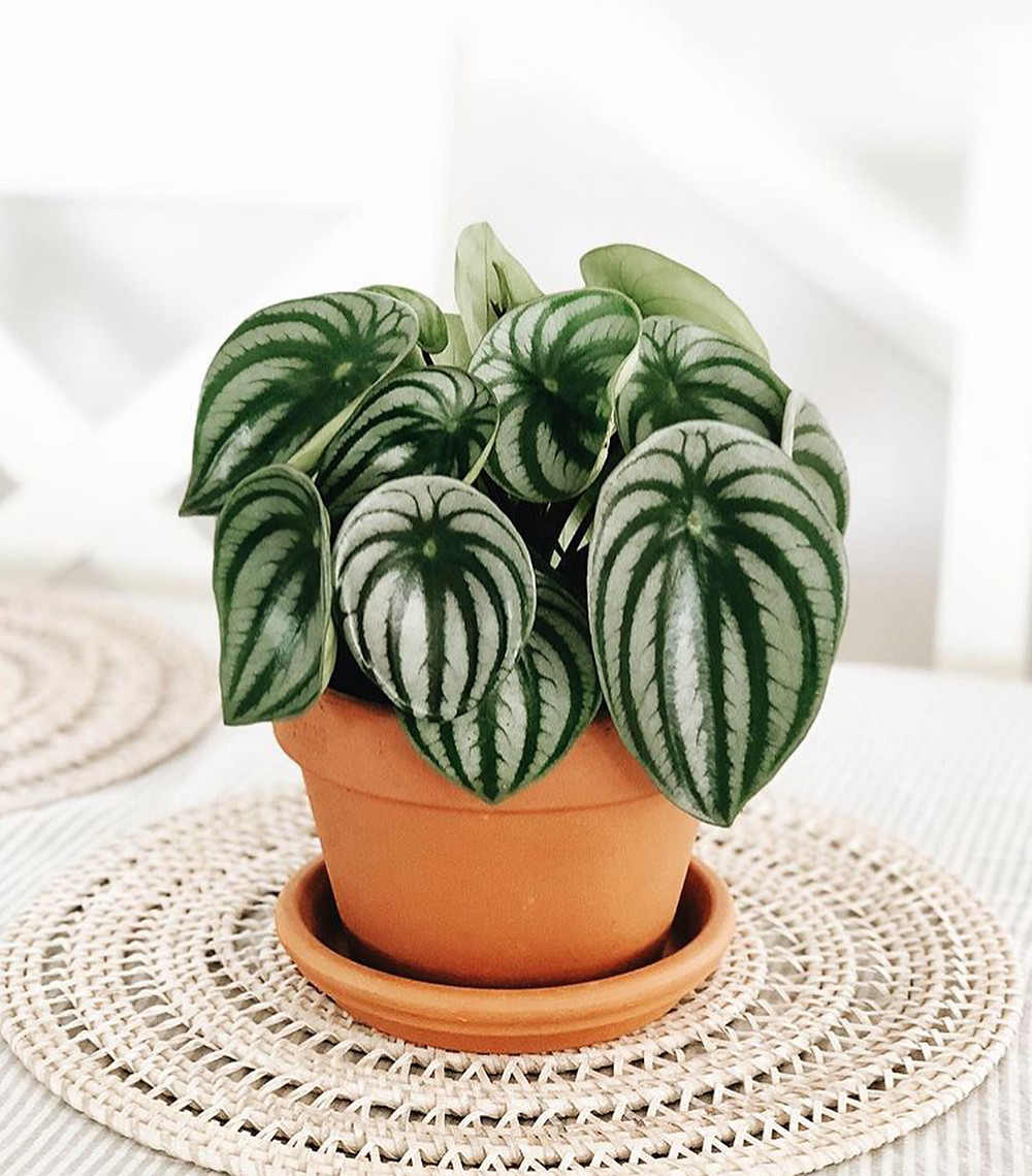 Easy To Care Houseplants Keep Alive Peperomia
