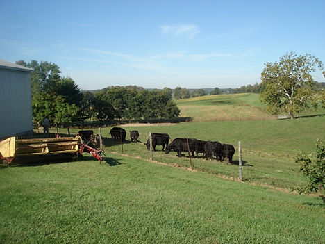 Angus Cattle in Indiana