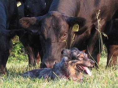 Angus Cow and Australian Shepherd Dog