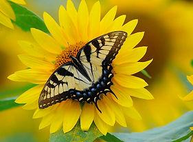 darkroom-sunflower-p13-fox.jpg