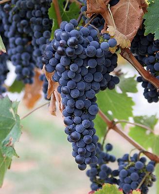 1200px-Grapes.jpg