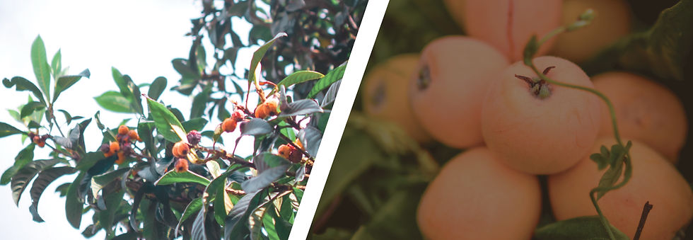 Organic Loquat Tree, Fruit, and Seeds