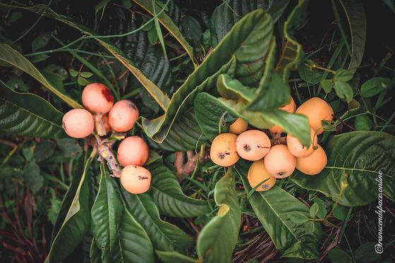 Loquat Plant and Fruit