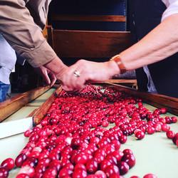 Sorting Cranberries