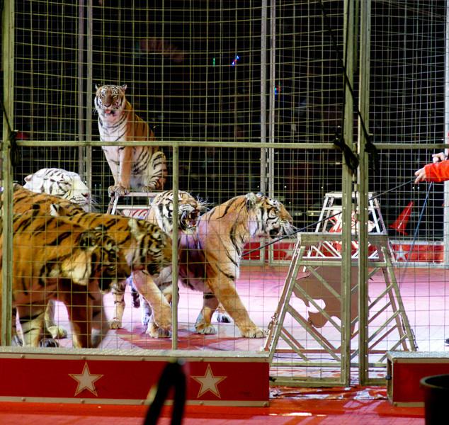 Kosair Circus Tigers.jpg