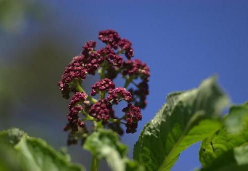 The Red Elderberry
