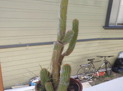 Findings about the Cephalocereus senilis (old man cactus)