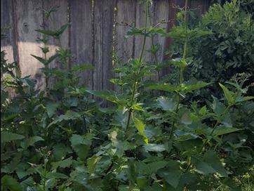 Scrophularia californica