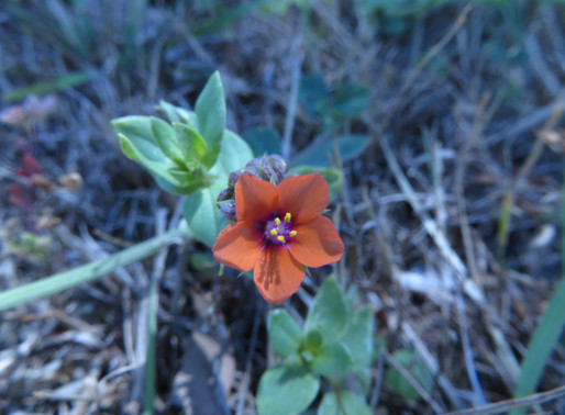 A Humble Wayside Flower
