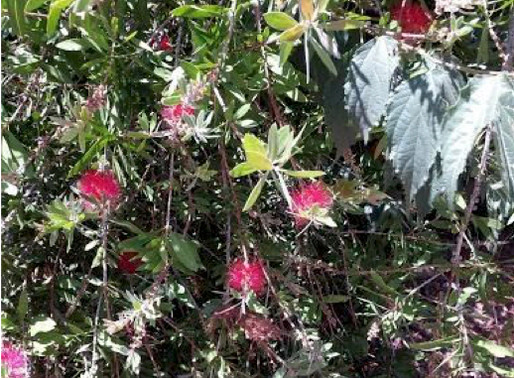 Nature in your Neighborhood Crimson Bottlebrush