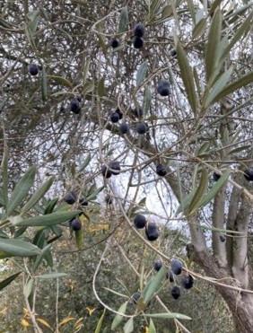 Neighborhood Fennel and Olive Trees