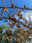 Ginkgo Trees