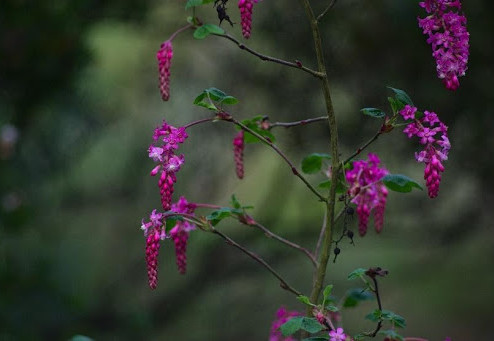 The Pink Flowering Currant