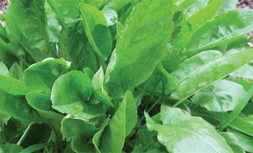 Large Leaf Sorrel