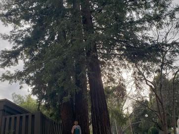 Redwoods in my Neighborhood