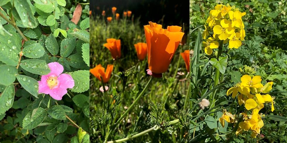 Spring Wildflower Walks on Mount Sutro