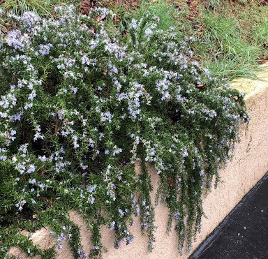 Rosemary: A Definitive Plant