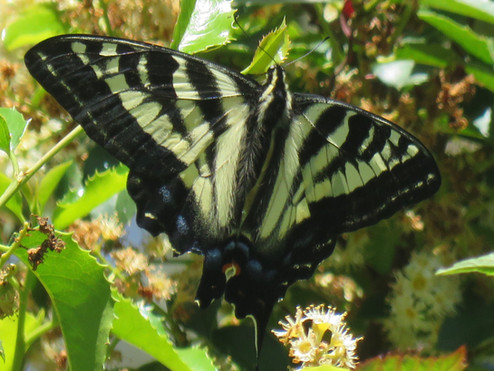 Rare Sighting of the Pale Tiger Swallowtail on Mount Sutro