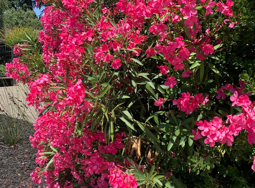 Oleander in my Neighborhood