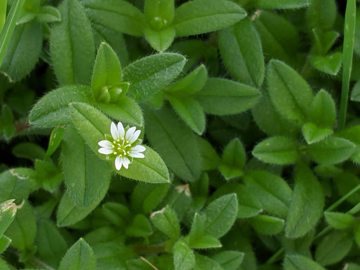 Which Chickweed?