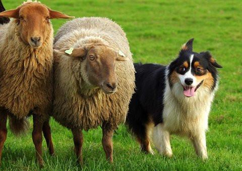 Jiba working sheep 2