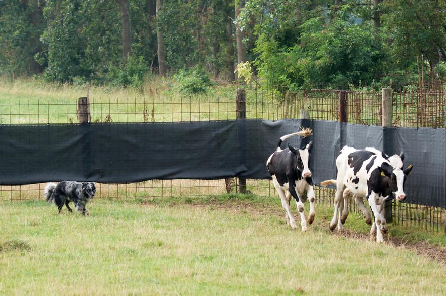 JAX working cattle 4