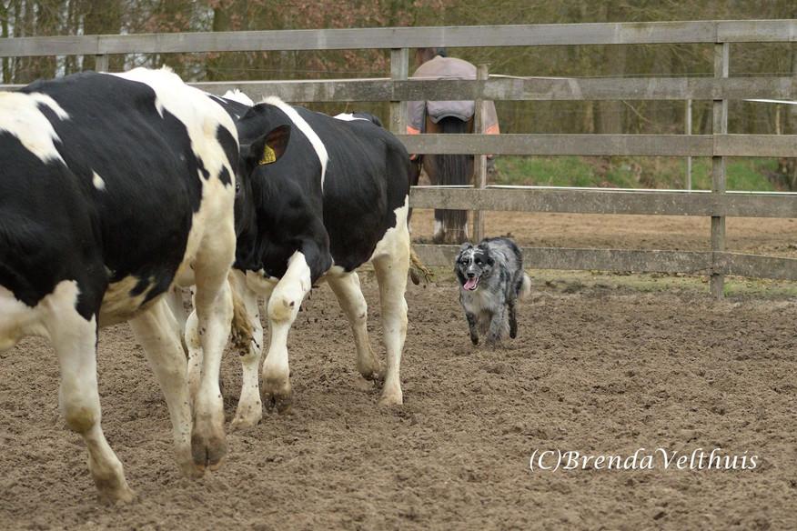 JAX working cattle 1