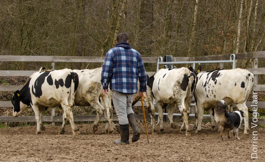 Jiba working cattle 1