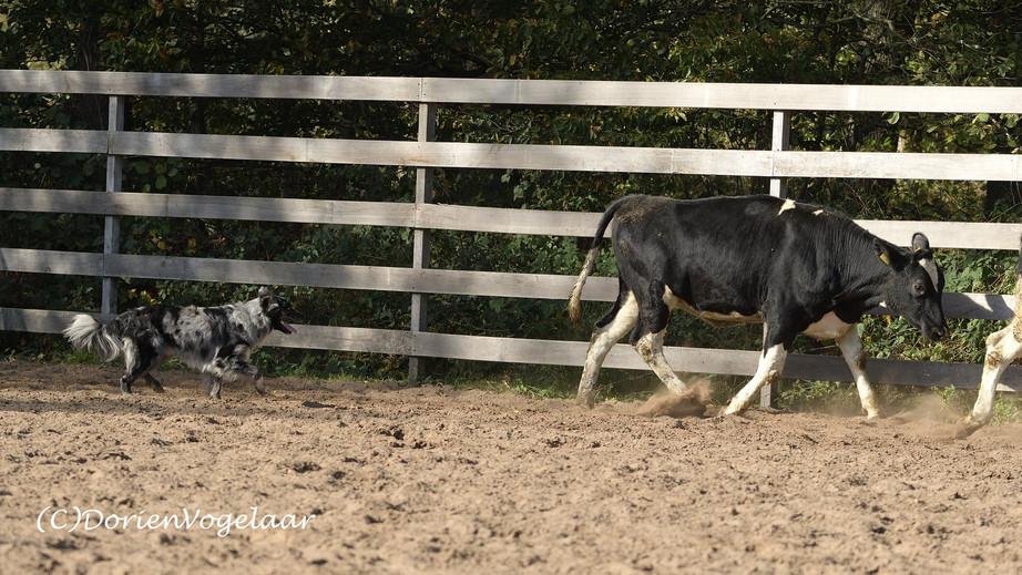 JAX working cattle 3